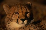 Expressive Cheetah views