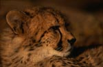 Young Cheetah Portrait (Acinonyx jubatus)