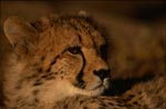 Fascinating big cat Cheetah