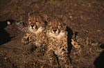 Two tired young cheetahs
