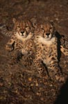 The two cheetahs inspire every cat lover