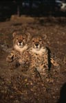 Two very impressive young cheetahs