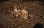Elegant and photogenic: Two young cheetahs