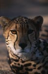 Big cats head portrait frontal