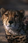 King cheetah close-up view