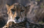 Interested looking King Cheetah