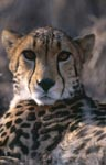 Imposing Portrait King Cheetah