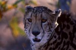 Close-up King Cheetah