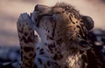 King Cheetah - important paw care
