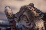 King Cheetah - Paw Care
