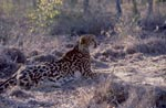 King Cheetah probed the situation