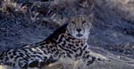 Lying King Cheetah