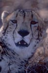 Character head King cheetah