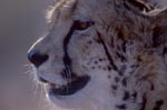 King cheetah portrait