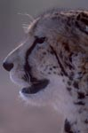 Impressive King Cheetah Portrait