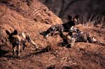 African wild dogs puppies (Lycaon pictus)