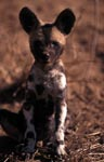 African Wild Dog pup (Lycaon pictus)