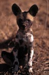 African Wild Dog pup (Lycaon pictus) portrait