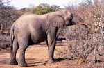 Elephant searches for food in the dried up bush