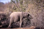 Young Elephant searches for food in the dried up bush