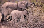 Mother and Baby Elephant searches for food in the bush