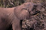 African Elephant eats leaves and branches