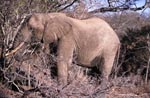 African elephant on food search