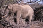 African Elephant eats dry branches