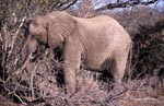 African Elephant in the dry bush