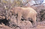 Difficult search for food for the African Elephant