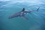 Great White Shark swims at the sea surface
