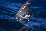 Great white shark dorsal fin in the sunlight