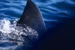 Dorsal fin of a Great White Shark (Carcharodon carcharias)
