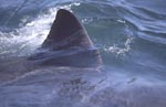 Striking white shark dorsal fin