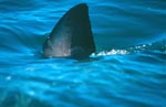 Great White Shark Dorsal fin