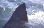 Typical white shark dorsal fin