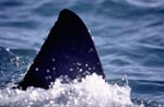 Dorsal fin of a Great White Shark