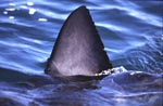 Great White Shark dorsal fin above Water