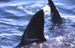 Dorsal fin and tail fin of great white shark