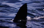 Unmistakable: Great white shark dorsal fin