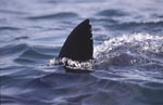 White shark dorsal fin looking out of water