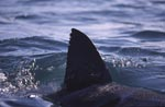 A Great White Shark's Fin