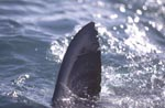 Great White Shark dorsal fin (carcharodon carcharias)