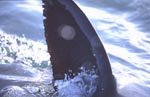 Reflections in the dorsal fin of the white shark.
