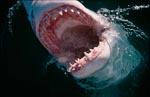 Photo of the inside of the mouth of a Great White Shark