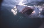 The great white shark with his impressive teeth