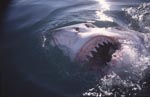 Great white shark shows its teeth at the sea surface