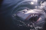 Great white shark breaks through the surface of the sea