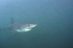 Baby Great White Shark in the plankton-rich water