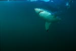 Great White Shark - only the underbelly is actually white